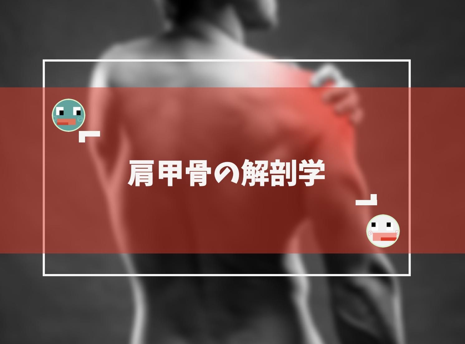 肩甲骨の基礎解剖学